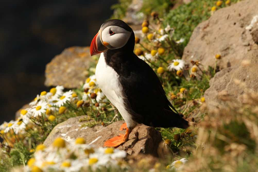 Icelandic puffin standing on a cliff