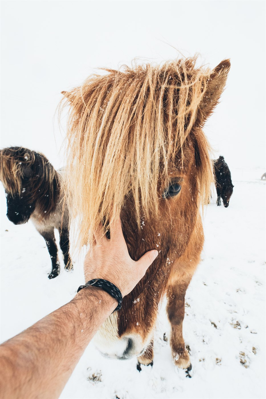 icelandic horses in winter in Iceland