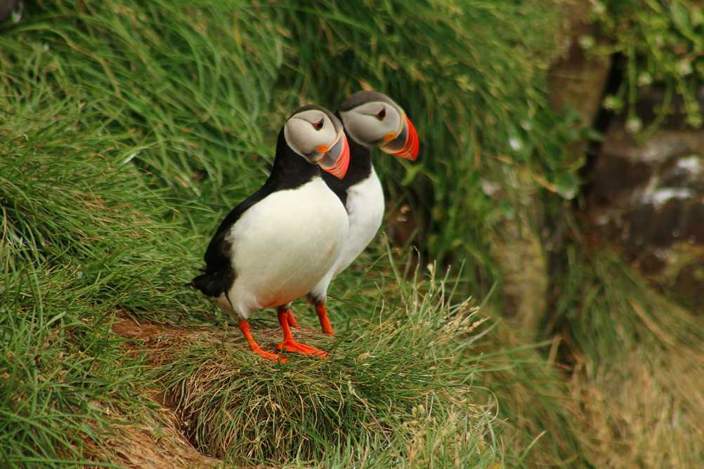 Puffin couple in Iceland