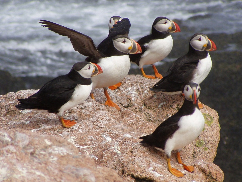 group of puffins enjoying life