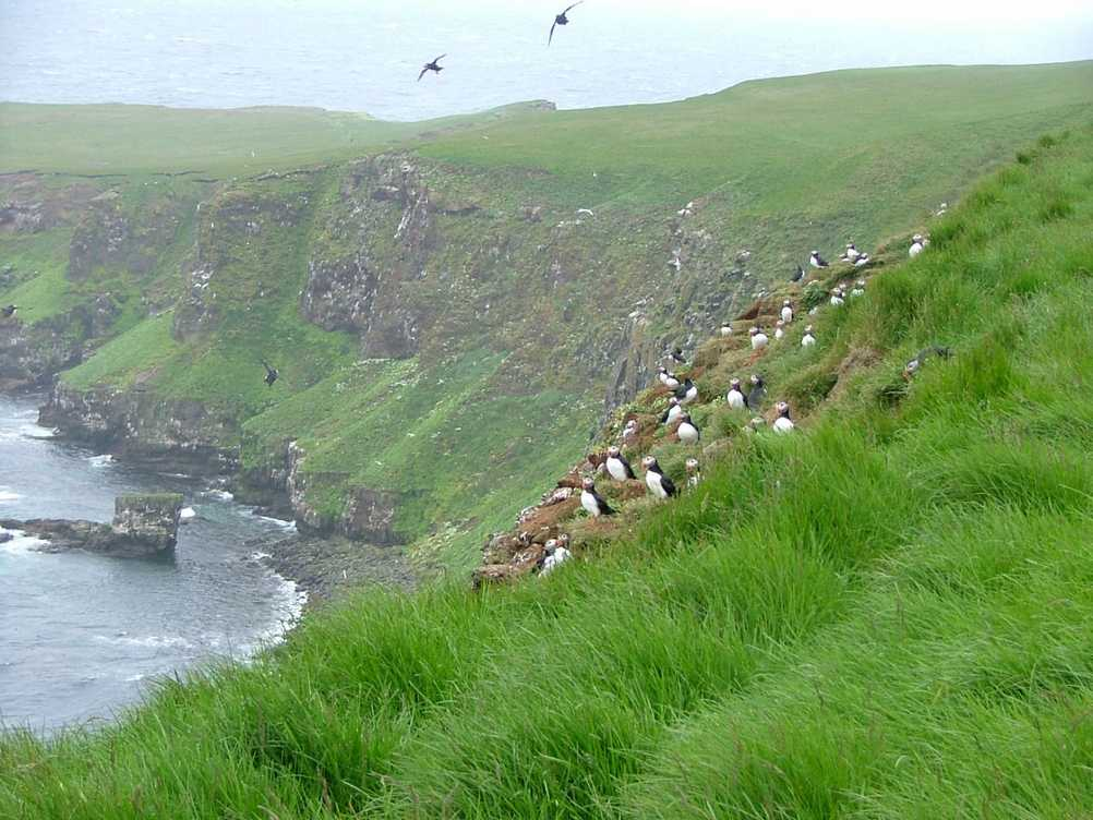 Puffins at Grimsey in Iceland