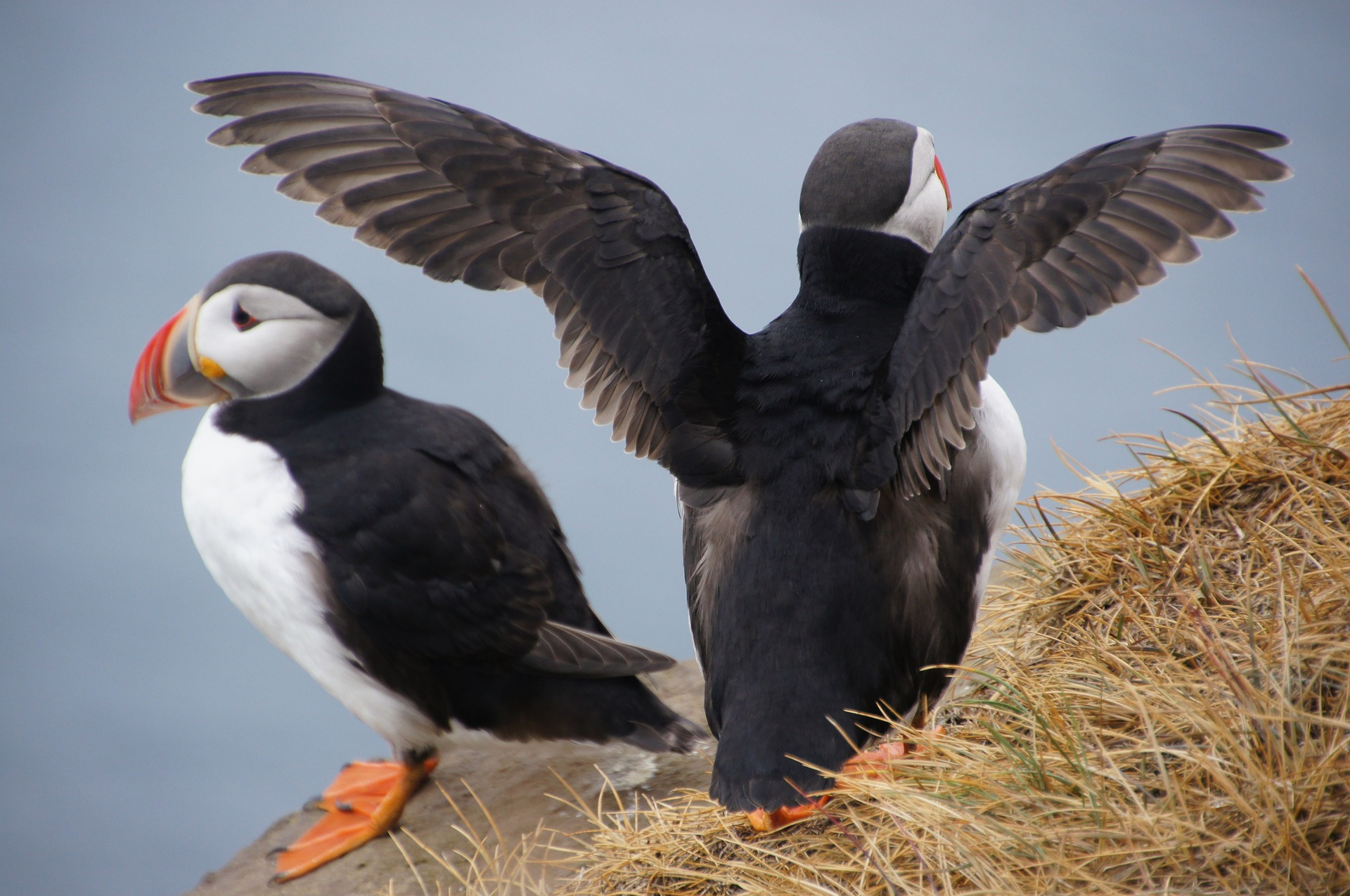 two puffins on a hill in Iceland
