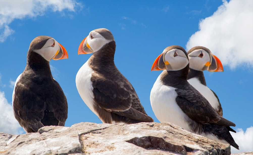 4 puffins on a rock, blue sky